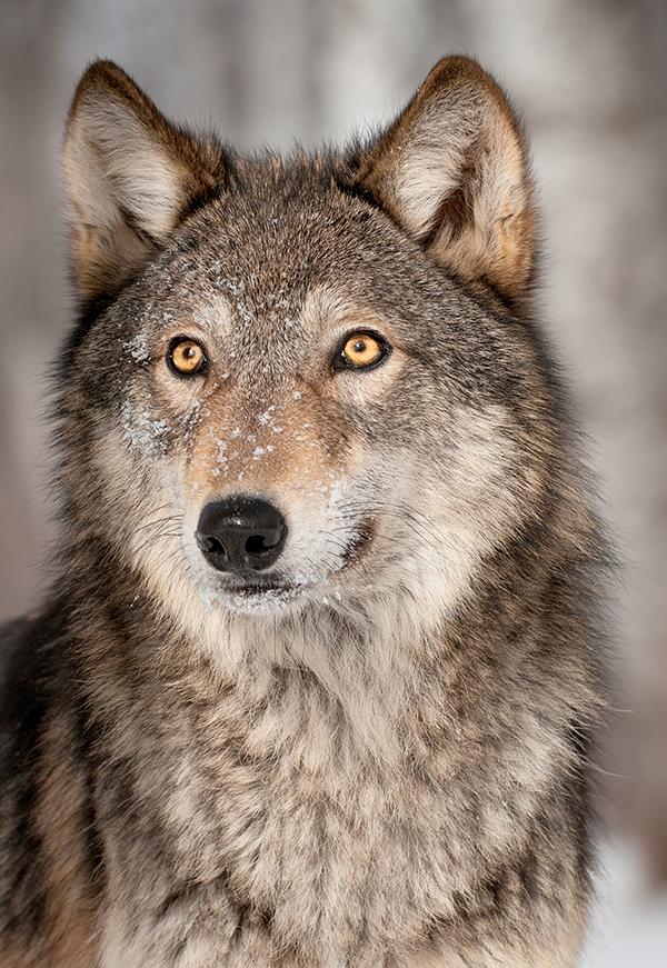 Grey Wolf (Canis lupus) Looks Up - captive animal