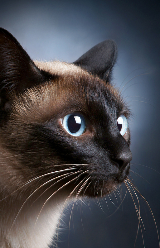 Portrait of the siamese cat over dark background